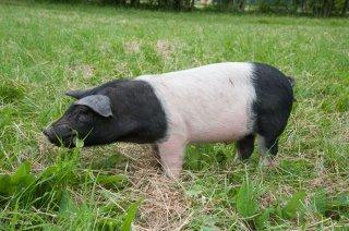 Elevage de porcs et de porcelets en plein air à la Ferme du Pas de l'Aiguille à Chichilianne (Isère)