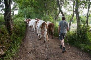 Retour des vaches au pré après la traite. Ferme Les Bruyères à la Chapelle en Vercors