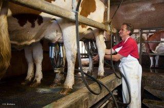 La traite des vaches à la ferme de la Grand Mèche à Lans en Vercors
