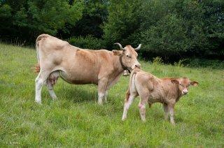 Vache et son veau de race Villard de Lans. Ferme des Villardes à Izeron