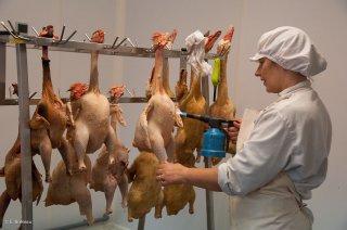 Préparation des canards et des poulets. Ferme des Canards du Vercors à Saint Martin en Vercors