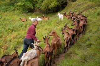 Après la traite du matin, Gaëlle mène les chèvres au pré. La P'tite Ferme à Saint Jean en Royans.