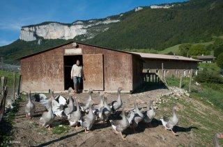 Sortie des oies. Ferme Les Canards du Vercors à Saint Martin en Vercors