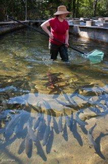 Pêche dans un bassin de la pisciculture des sources de l'Archiane