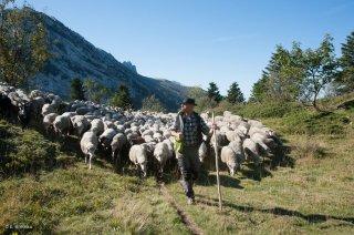 Rassemblement du troupeau de moutons sur l'alpage des Allières. Ferme auberge A la Crecia à Lans en Vercors