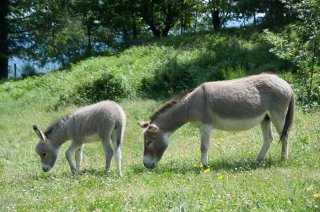 Anesse et ânon de race Sarde