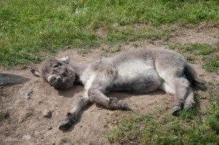 La sieste d'un ânon de race Sarde