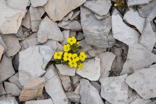 Fleurs qui émergent dans le calcaire sur le sommet du Rougnou. Hautes-Alpes