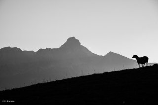 Brebis solitaire admirant le coucher de soleil sur l'Obiou, depuis l'alpage de la Salette