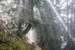 Le sentier montant au Taillefer passe sous un Mélèze traversé par les rayons du soleil. Isère