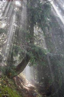 Le sentier du Périmètre montant au Taillefer passe sous un Mélèze traversé par les rayons du soleil. Isère