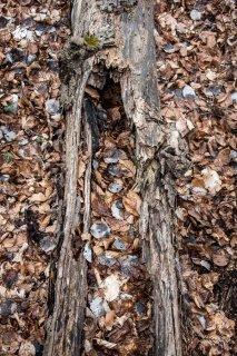 Tronc pourri en décomposition. Forêt du Trièves, Isère