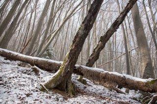 Troncs morts et chablis de Merisier dans une Hêtraie. Forêt du Trièves, Isère