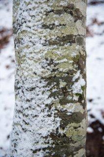 Le vent a plaqué la neige contre un Hêtre. Forêt du Trièves, Isère