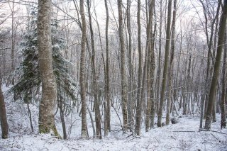 Hêtraie en hiver. Forêt du Trièves, Isère