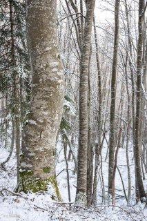 Hêtraie. Forêt dans le Trièves, Isère