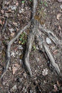 Racine sur un sentier. Forêt du Trièves, Isère