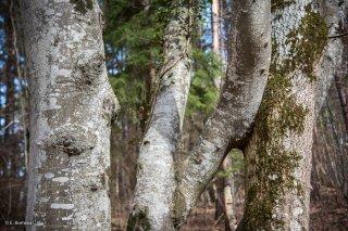 Grand amour jalousé entre un Hêtre et un Frêne. Forêt du Trièves, Isère