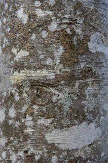 Détail d'un tronc de Hêtre. Forêt du Trièves, Isère