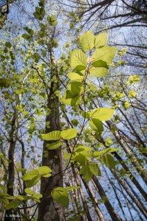 Jeunes feuilles de Hêtre. Forêt du Trièves, Isère