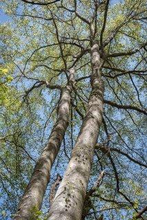 Troncs de Hêtres. Forêt dans le Trièves, Isère