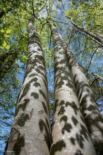 Ombres de feuilles portées sur des troncs de Hêtres. Forêt du Trièves