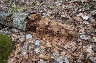 Tronc en décomposition. Forêt du Trièves, Isère