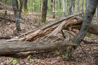Tronc cassé dans une Hêtraie. Forêt du Trièves, Isère