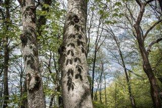 Ombres de feuilles portées sur un tronc de Hêtre. Forêt du Trièves