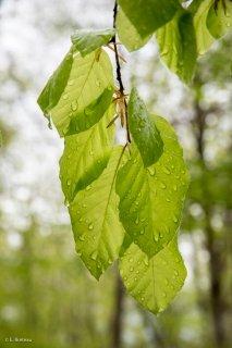 Jeunes feuilles de Hêtre sous la pluie. Forêt du Trièves, Isère