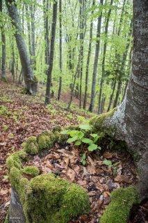 Des jeunes Hêtres poussent dans la souche d'un vieux Hêtre. Forêt du Trièves. Isère
