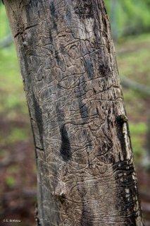 Tronc de Frêne mort mangé par les insectes. Forêt du Trièves, Isère