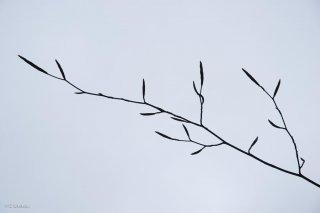Bourgeons sur une branche de Hêtre. Forêt du Trièves, Isère
