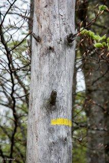 Balisage d'un sentier de randonnée sur un tronc mort. Forêt du Trièves, Isère