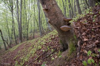 Des champignons Langue de Boeuf poussent sur un tronc pourri de Hêtre. Forêt du Trièves, Isère