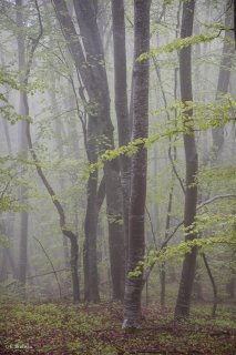 Hêtraie dans le Trièves au printemps, les Hêtres débourrent. Isère