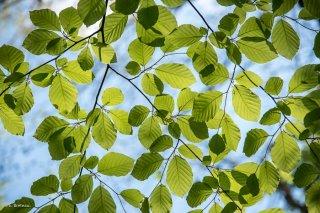 Jeunes feuilles de Hêtre qui débourrent. Forêt du Trièves, Isère