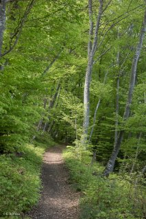 Un sentier traverse une Hêtraie dans le Trièves, au printemps les Hêtres débourrent. Isère