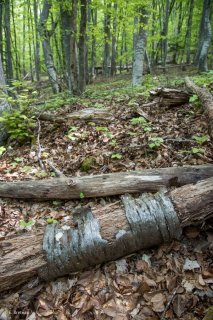 Tronc pourri de Merisier. Forêt du Trièves, Isère