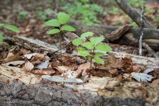 Des jeunes Hêtres poussent dans un tronc pourri. Forêt du Trièves. Isère
