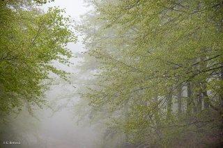 Hêtraie dans le Trièves au printemps, les Hêtres débourrent dans le brouillard. Isère