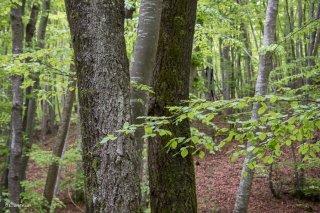 Deux troncs de Trembles dans une Hêtraie dans le Trièves au printemps. Isère