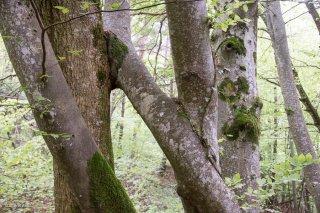 Un Hêtre embrasse vivement un Frêne. Forêt du Trièves, Isère