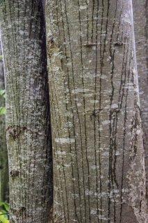 L'eau de pluie ruissèle le long des troncs de Hêtres. Forêt du Trièves, Isère