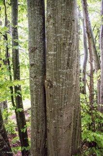 L'eau ruissèle contre les troncs de Hêtres. Forêt du Trièves, Isère