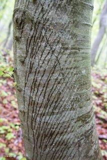 L'eau de pluie ruissèle le long d'un tronc de Hêtre. Forêt du Trièves, Isère