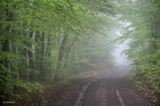 Une piste forestière traverse une Hêtraie dans le Trièves, au printemps les Hêtres débourrent. Isère