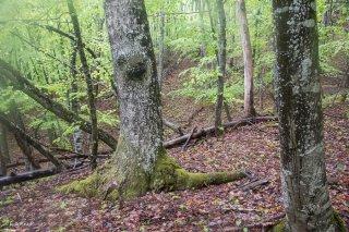 Tronc de Tremble dans une Hêtraie. Forêt du Trièves, Isère