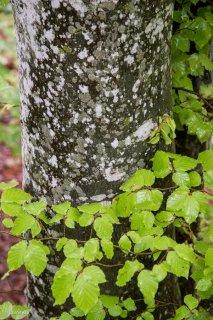 Tronc de Hêtre qui débourre au printemps. Forêt du Trièves