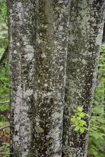 Troncs de Hêtres qui débourrent au printemps. Forêt du Trièves